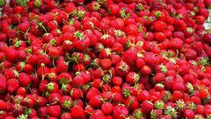 Аграрии Дагестана осваивают новые методы выращивания клубники