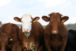 Апробация новых селекционных достижений в животноводстве будет проводиться по единым правилам