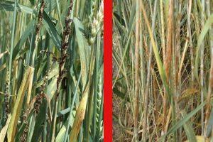 Болезни зерновых и зернобобовых и меры борьбы