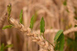Весна – время разобраться с вредителями пшеницы