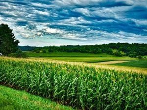 кукуруза поле