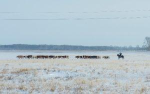 зимний выпас коров
