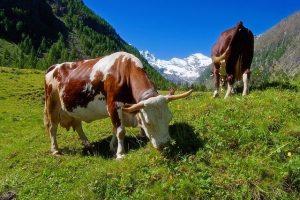 Выпас скота на полях занятых покровными культурами
