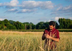 сорт пшеницы Kernza