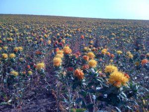 В Жамбылской области в рамках программы «ДКБ 2025» получило поддержку производство нерафинированного сафлорового масла