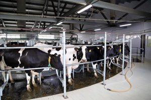 В Жамбылской области создадут 61 молочную ферму