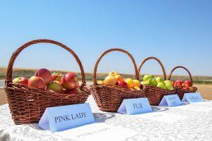 урожай яблок в Алматинской области