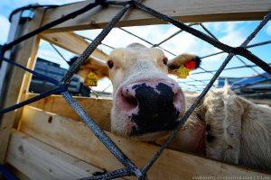 В Казахстане вводиться запрет на вывоз скота