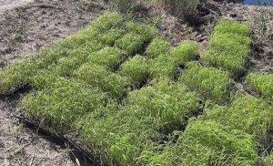 выращивание риса гидропоника