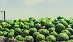 В Кызылординской области посажено 470 гектар арбузов