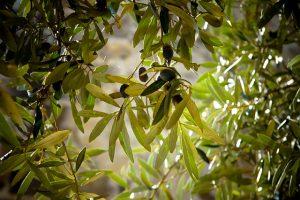 оливковая роща в теплице