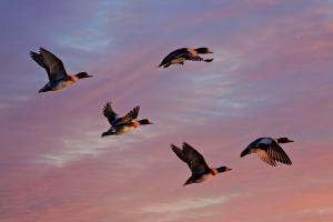В СКО принимают меры против распространения высокопатогенного гриппа птиц