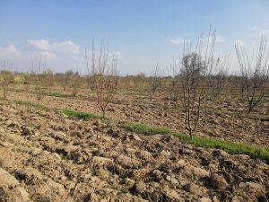В Сарыагашском региональном филиале КазНИИПО в рамках ВПР произведена весенняя обрезка в саду