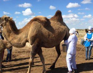 В Туркестане производят в неделю до 2 тонн верблюжьего молока