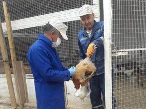 В Шымкенте проводится вакцинация домашней птицы