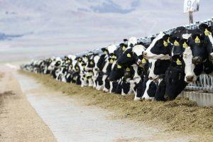 молочно-товарные фермы в Казахстане
