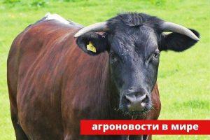 Глостерская порода коров