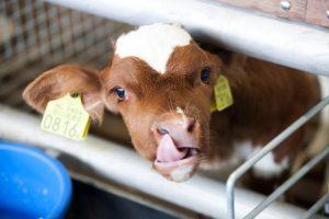 гуммированные кислоты для телят и взрослых коров