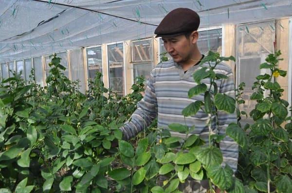 Житель села Актоган выращивает лимоны