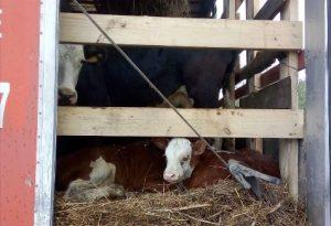 Из Омской области в Казахстан не выпустили более 100 коров