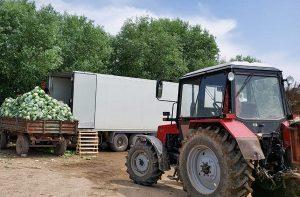 Из Туркестана в Беларусь отправили 500 тонн капусты