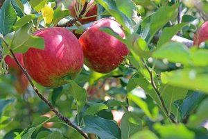 КазНИИЗиКР Обзор вредителей и болезней плодовых культур и прогноз их появления в 2020 году