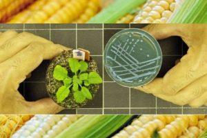 Как выращивать улучшенные культуры без ГМО - ученые нашли метод