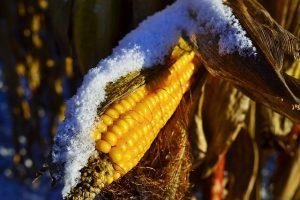 сбор урожая кукурузы после заморозков