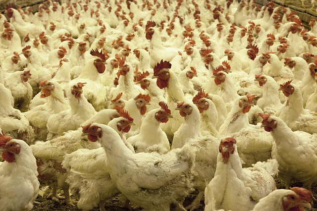 Как определить и лечить инфекционный бронхит у кур