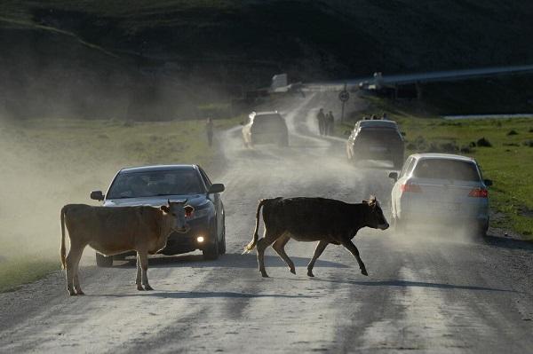 аварийные ситуации из-за скота