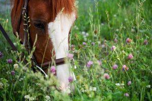 Клевер в рационе лошади