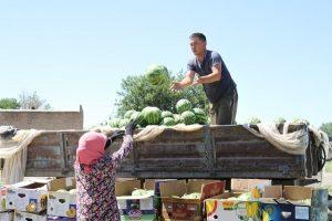 урожай арбузов в Мактаарале