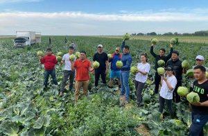 Мактааральский предприниматель раздал 600 тонн капусты бесплатно