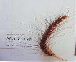 Сорт озимой мягкой пшеницы «Матай» выведен учеными КазНИИЗиР
