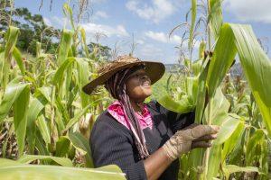 Меры реагирования на нашествие кукурузной лиственной совки