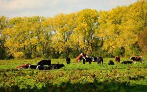 Методы ранней диагностики стельности коров