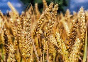 Минсельхоз России начал продажу зерна государственного интервенционного фонда