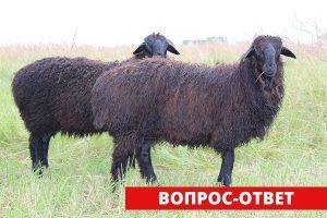 Можно ли скрещивать сарыаркинскую породу овец с гессарской