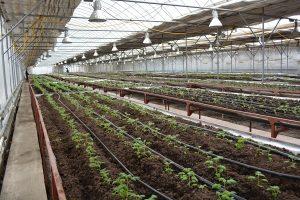 На заводе по производству миниклубней картофеля учеными проводятся научно-исследовательские работы