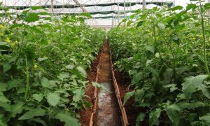 На 4,9 млрд. тенге произведено сельхозпродукции в Шымкенте