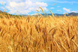 Недавно разработан новый сорт пшеницы с фруктаном