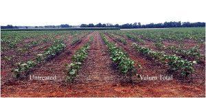 Нематода может снизить урожайность хлопка на 50%