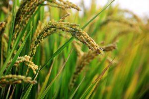Урожай риса 2020