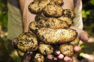 Обнаружен новый ген устойчивости к разрушительной болезни картофеля