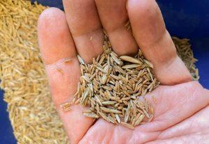 Первый пищевой сорт пырея выпустили для использования на фермах