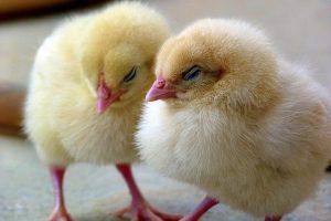 Повторное использование куриной подстилки