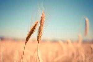 пшеница обогащенная цинком