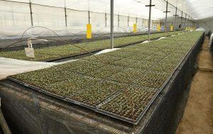 Получение 2-3 урожая в год с одной площади