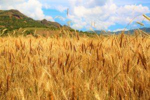 Потребление зерновых снизится, а запасы вырастут в сезоне 2019-2020 годов
