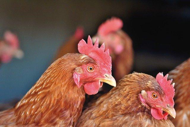 Почему птицефабрика, получающая поддержку от государства заявила о возможном банкротстве